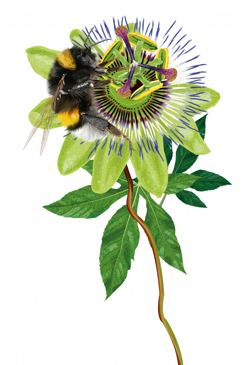 Bumblebee and Passionflower