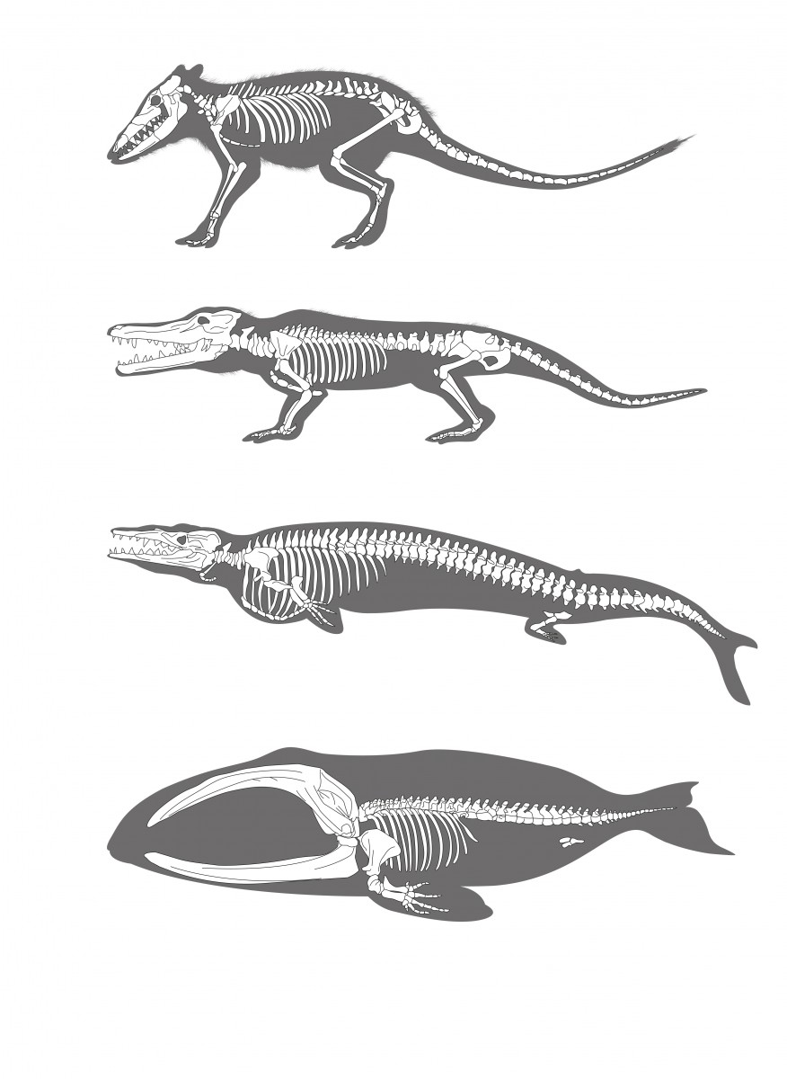 Evolution of Whale
