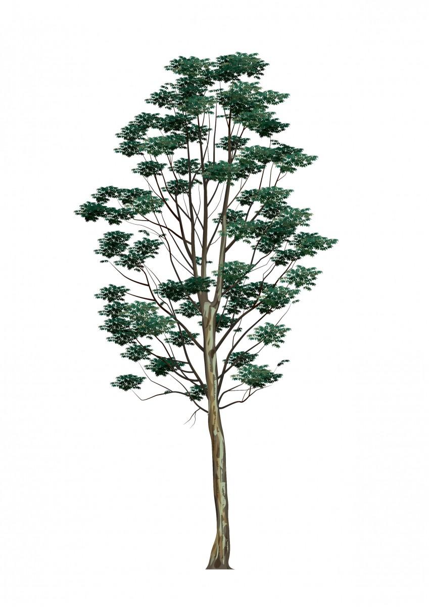 Karri Eucalyptus