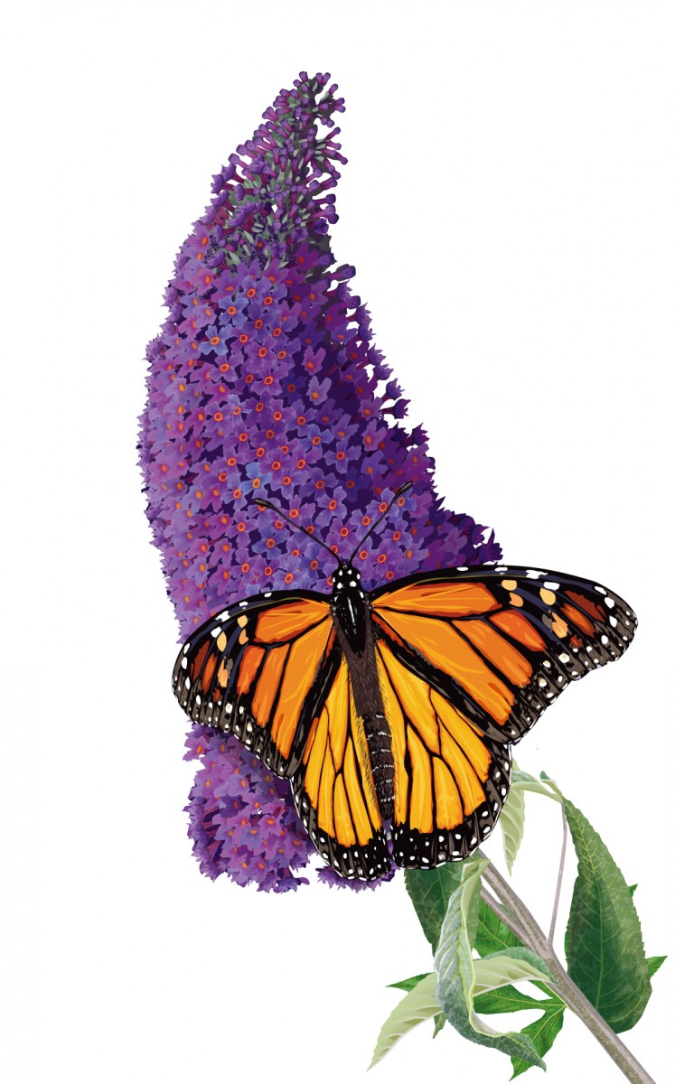 Buddleia and Monarch