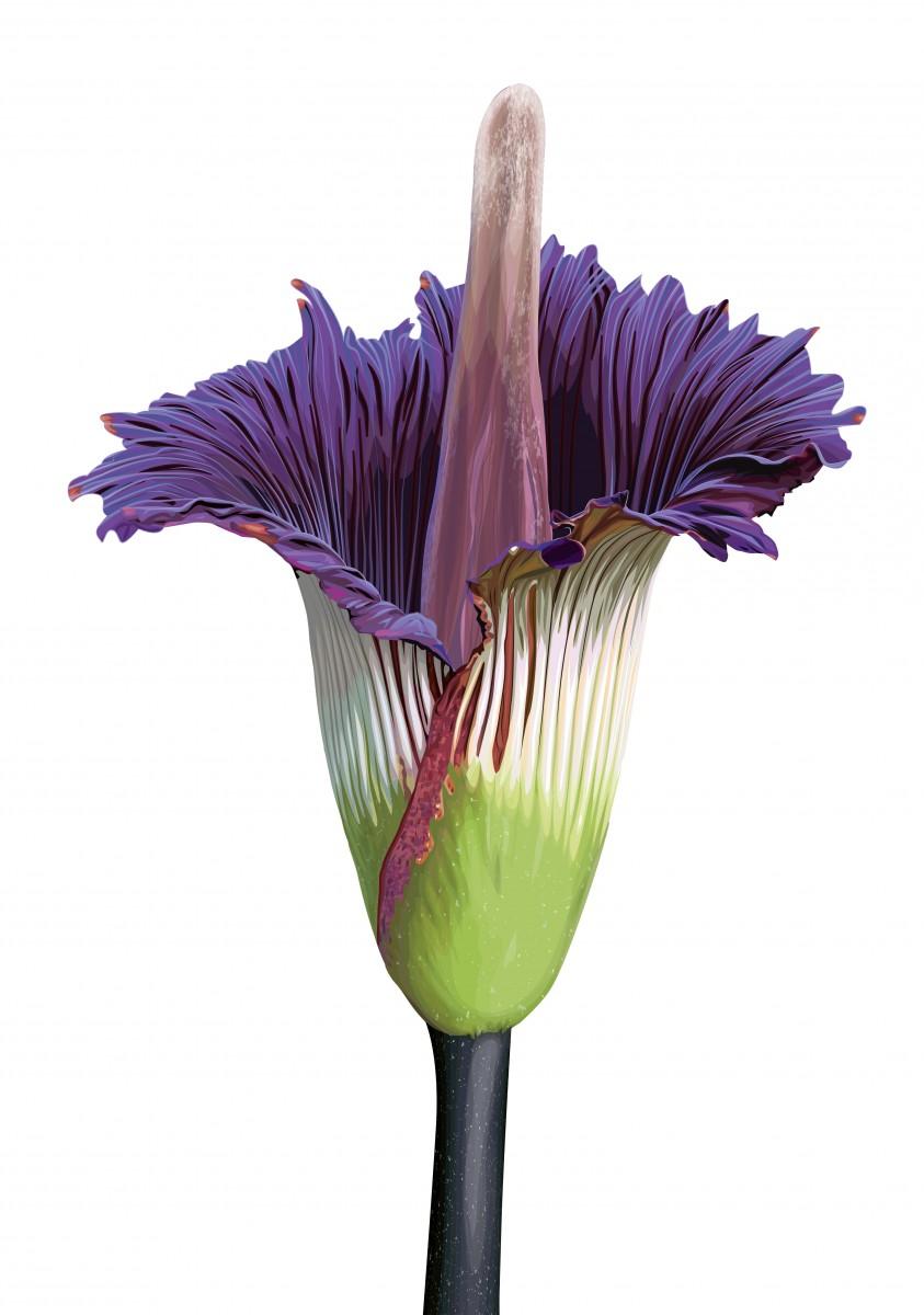 Titan Arum Flower